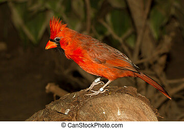 Northern Cardinal in captivity on a log