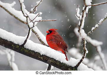 Northern cardinal in snow storm - Northern Cardinal perched ...