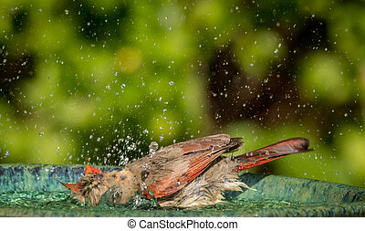 Northern Cardinal in the bird bath