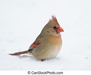 Female Northern cardinal sitting in the snow following a heavy winter snowstorm