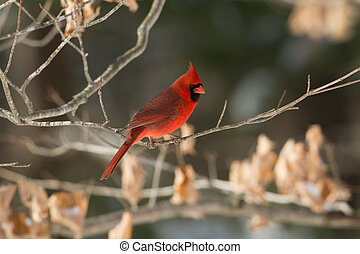 Northern cardinal in winter