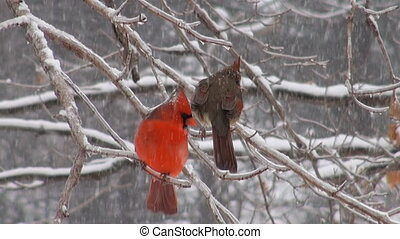 Northern cardinal in winter storm