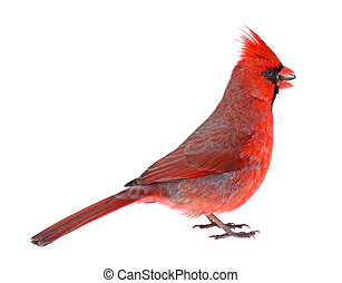 Northern Cardinal Isolated - Male northern cardinal, ...