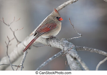 Northern cardinal on a branch