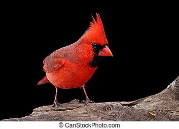 Northern Cardinal On A Log - Male Northern Cardinal (...