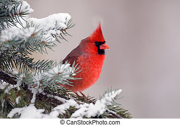 Northern cardinal perched in a tree - Male northern cardinal...
