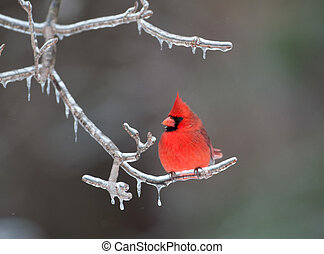 Northern Cardinal perched on branch - Northern cardinal ...