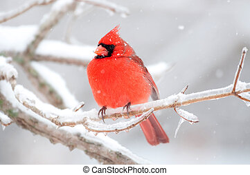 Northern cardinal sits perched on a ice covered branch following winter storm