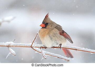 Northern Cardinal perched on snow covered branch - Northern ...