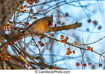 Northern cardinal red bird in winter