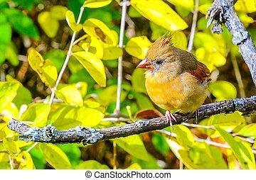 Northern cardinal red bird
