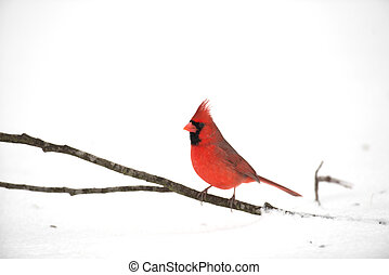 Northern cardinal - Male northern cardinal perched on a...