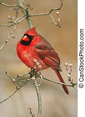 Northern Cardinal - Male Northern Cardinal sitting in...