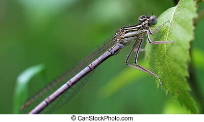 Northern damselfly - Coenagrion hastulatum in a Macro