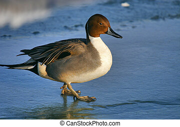 Northern Delight - Northern Pintail Duck, Anas acuta. Close ...