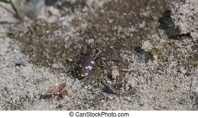 Northern dune tiger beetle turns - in a macro shot - slow...