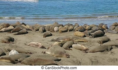 Northern Elephant seal colony. Colony of wild Elephant Seals...