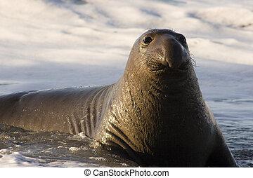 Young northern elephant seal at waters edge. Mirounga angustirostris