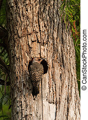Northern flicker Colaptes auratus at the entrance of its...
