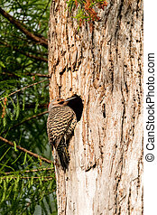 Northern flicker Colaptes auratus at the entrance of it?s nest in a pine tree