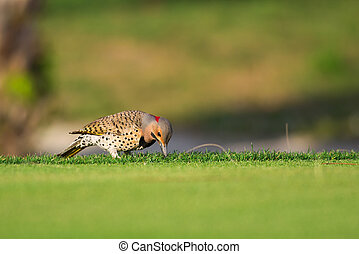Yellow-shafted Northern Flicker on golf course, Fort Myers, Florida. Also known as Alabama's state bird, Yellowhammer.