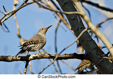 Northern Flicker Perched on a Branch in a Tree