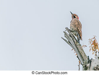 Northern Flicker perched on a tree branch looking up.