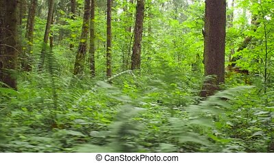 Northern forest in summer - Dolly shot of northern forest in...