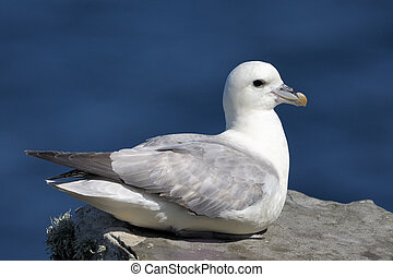 Northern Fulmar sitting on cliff edge.