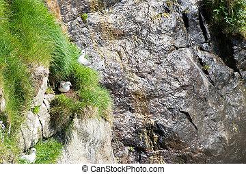 Northern fulmar sitting on nest
