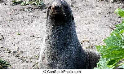 Northern fur seal (Callorhinus ursinus) on commander islands...