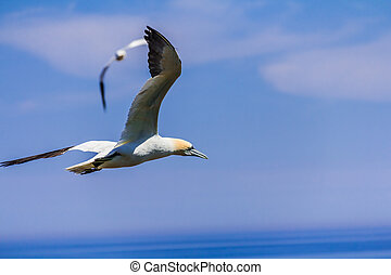 Northern Gannet Colony on Bonaventu
