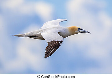 Northern gannet in flight against blue sky