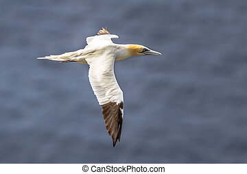 Northern gannet in flight against ocean background
