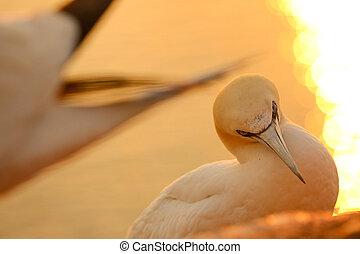 Norherns gannet on cliff at sunset