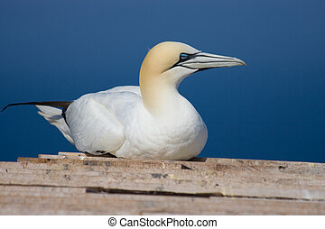 Northern Gannet resting on the roof of a cabin on ...
