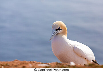 northern gannet sitting on the rock