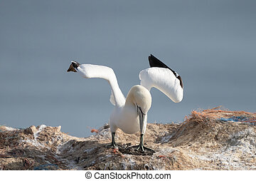 Northern gannet with spreadout wings landing in a breeding colony at cliffs of Helgoland island, Germany