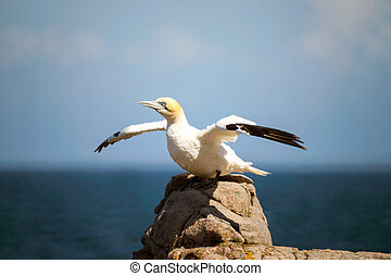Northern gannet with wings spread