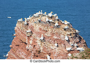 Northern gannets in breeding colony at cliffs of German Helgolan