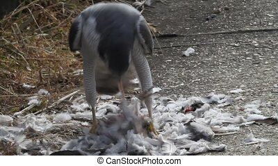 Northern Goshawk (Accipiter gentilis) eating dove in Japan