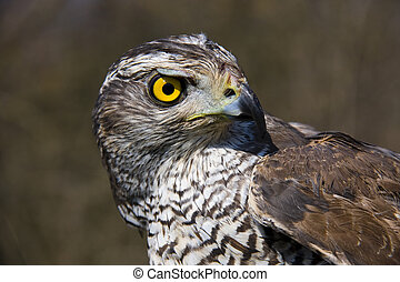 Northern goshawk - Head of a Northern goshawk (Accipiter...