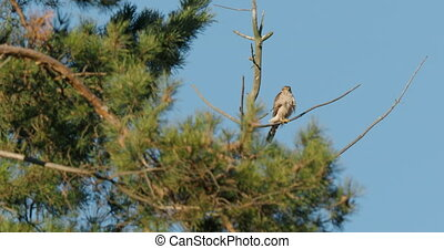 Northern goshawk or Accipiter gentilis. Big raptor bird is sitting on pine tree branch on clear blue sky background.