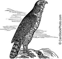 Northern Goshawk or Accipiter gentilis. Vintage engraving. -...