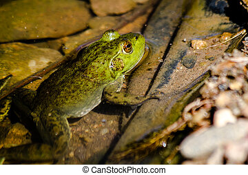 Northern Green Frog in Water