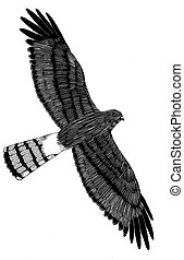 Northern Harrier - Circus cyaneus - from above
