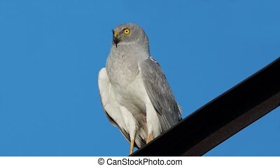 Northern Harrier (Circus cyaneus) male sitting on a...