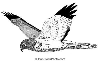 Northern Harrier - Circus cyaneus - male