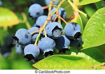 Northern highbush blueberry (Vaccinium corymbosum) -...