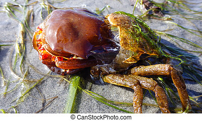 Northern kelp crab, spider crab, shield back crab ( Pugettia producta ) Changing its shell on a sandy beach.